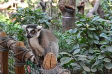 Сафари парк лемуры-прелесть.Совершенно не бояться людей