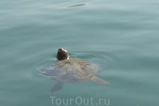 Греция. о.Кефалония. Аргостоли. Черепахи каретта-каретта у рыбацкого причала.