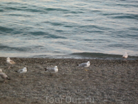 Чайки судацкие пляжные.
