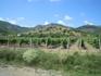 Всюду виноградники