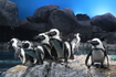 Океанариум на о.Лангкави решили посетить только потому что там содержаться пигвины, которых в живую мы не разу не видели.    Очковый пингвин. Единственный ...