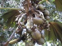 Coco de Mer (Двойное кокосовое Дерево)- Это самый большой плод в мире который требует 7-8 лет чтобы созреть. Один из исчезающих видов растений - Королевский ботанический сад.