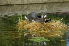 Семейство живет в фонтане Гайдпарка и , похоже, очень неплохо себя чувствует...