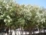 цветущие кустарники в Малии