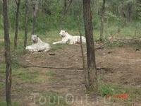 Белые тигры - символ 2010 года.