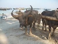 буйволы не слишком рады нам