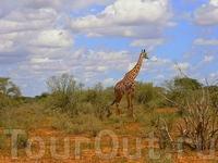 Ну,а это одно из самых больших животных на земле.Жирафов мы встретили лишь пару раз за всё сафари.