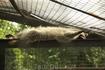 Калининградский зоопарк. Енот. У него послеобеденная сиеста :)