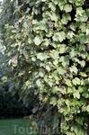 Клайпедский виноград
