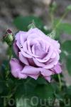 Розы - украшение садов. Необыкновенные цвета и ароматы. Они достойны отдельного альбома