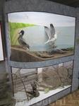 Макет с чучелами чайки и утки. Внизу рюси.