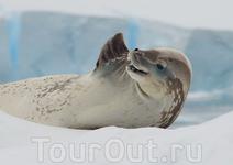 Морской леопард позирует фотографам