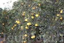 грейпфрутовая роща