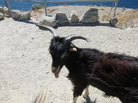 Опять козы