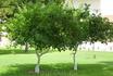 лимонные деревья