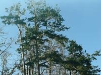 Куршская коса. Нида. Литва - это единственное, по словам местных жителей, место в мире, где водятся кармараны (на фото). Это птицы, помет которых уничтожает ...