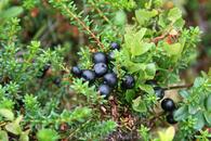 Ягоды можжевельника в горах Трюсиля