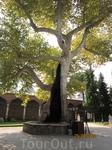 дерево в парке дворца Топкапы