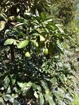 Сады в эко размещении, на кинтах Азорр