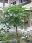 пальма с неизвестными плодами.