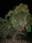 вот так растут кактусы