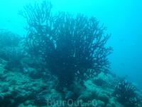 Черные кораллы