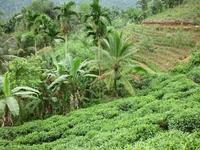 чайная плантация (здесь море пиявок на земле)