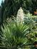 Растение напоминает гиацинт, но громадных размеров.