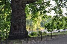 Очень много древних, могучих деревьев. (Сент Джеймс парк)