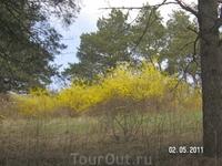 желтые кусты