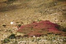 Огромные поля розового олеандра, и среди него, белая церковь на склоне берега.