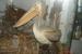 Вот такие пеликаны обитают в районе Скадарского озера, Правда живьем мы их не видели, только в качестве музейного экспаната