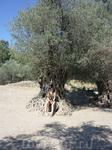 2000-летние оливы в Гортине.