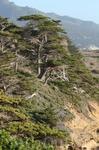 Монтерейский кипарис