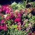 Цветы, цветы повсюду - и не только олеандры)