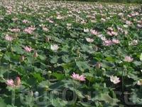 поле лотосов, для нас - красивый цветок, для них - пища