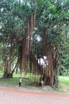 Баньяновые деревья