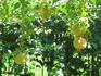 Гранаты уже большие, но ещё жёлтые. В смысле совсем зелёные.