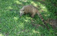 Коати, млекопитающие которые  живут в парках и на Бразильской и на Аргентинской стороне