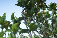 Черное эбеновое дерево в цветах!!
