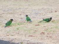 Воротничковые попугаи