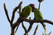 красноголовый попугай (Psittacula cyanocephala)