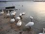 """Лебедей там больше, чем уток. И причем эти красивые и """"благородные"""" птицы довольно скандальные и агрессивные"""
