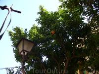 Апельсиновые деревья растут прямо в городе