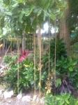 Так растут манго.