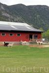 Ламы тоже живут в Норвегии