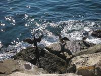 Уточки- нырки очень грациозны и могут долгое время находиться под водой.