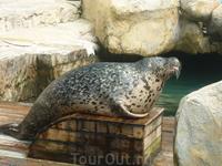 Морской котик ( или лев) :) Орёт как тигр, когда просит рыбу :)