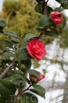 Китайская роза.