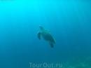 Зелёная черепаха всплывает за воздухом.  Панагасама, Моалбоал.